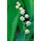 Fotótapéta Gyöngyvirág