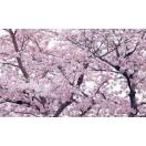 Fotótapéta Tavaszi virágzás