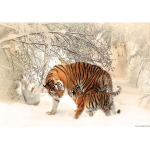 Fotótapéta Tigrisek - szerelem