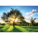 Fotótapéta Nap a fa mögött