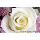 Fotótapéta fehér rózsa