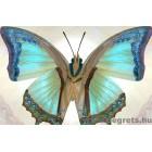 Fotótapéta Pillangó