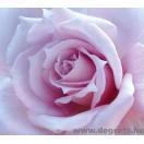 Fotótapéta lila rózsa
