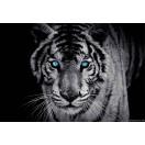 Fotótapéta Tigris 1 3D