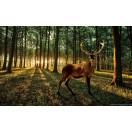 Fotótapéta Szarvas  az erdőben  - napnyugta XL