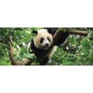 Fotótapéta Panda Vlies
