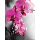 Fotótapéta Orchidea ciklámen 1 L 2