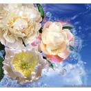Fotótapéta Pünkösdi rózsa