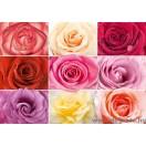 Fotótapéta Színes rózsák